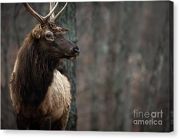 Regal Canvas Print