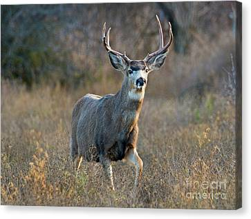 Regal Buck Canvas Print