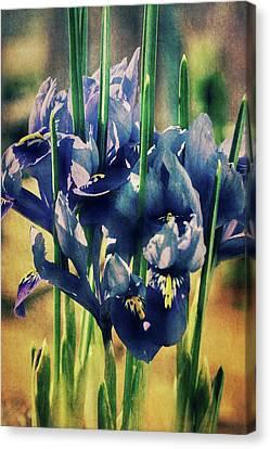 Canvas Print featuring the photograph Regal Splendour  by Connie Handscomb