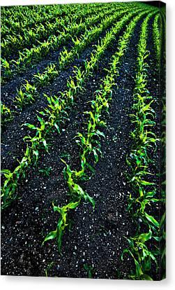 Regimented Corn Canvas Print by Meirion Matthias