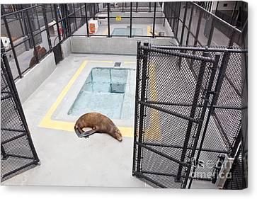 Rehabilitated Sea Lion Canvas Print by Inga Spence