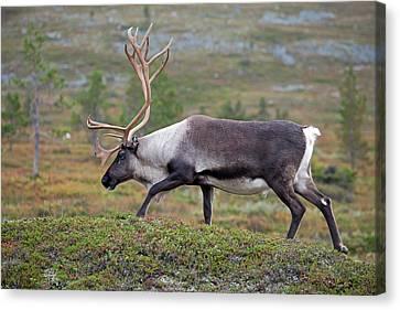 Reindeer Canvas Print by Aivar Mikko