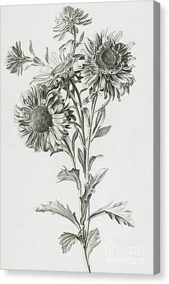 Reine-marguerite Canvas Print by Gerard van Spaendonck