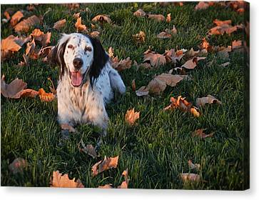 Relaxed And Happy, English Setter Canvas Print