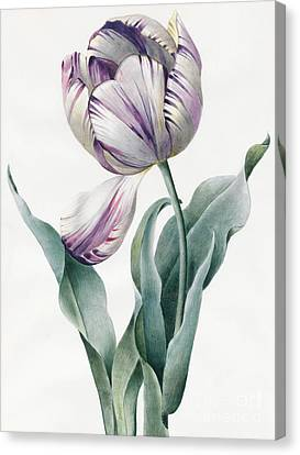 Purple Flowers Canvas Print - Rembrandt Tulip by Louise D'Orleans