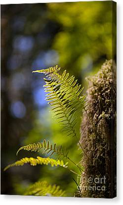 Renewal Ferns Canvas Print by Mike Reid