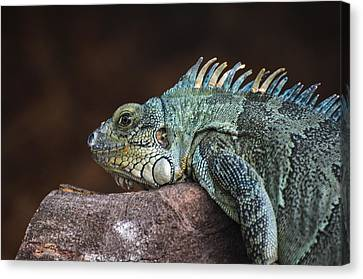 Reptile Canvas Print by Daniel Precht