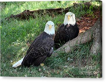 Canvas Print featuring the photograph Resting Bald Eagles by Sheila Brown