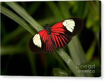 Resting Butterfly Canvas Print by Ana V Ramirez