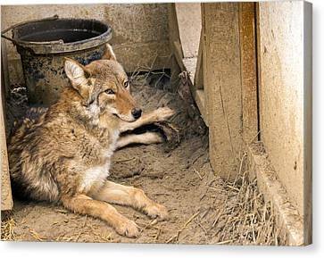 Resting Coyote Canvas Print