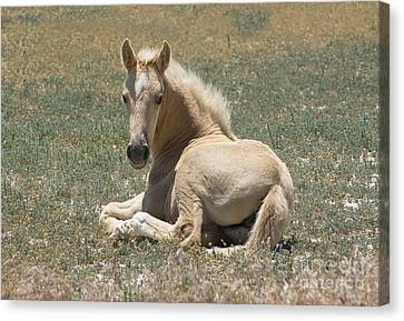Resting Filly Canvas Print by Nicole Markmann Nelson