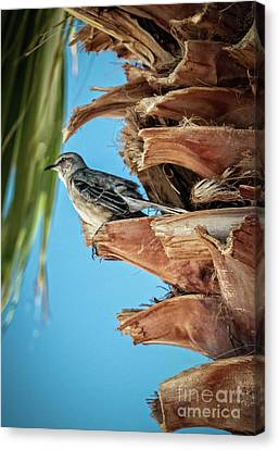 Canvas Print featuring the photograph Resting Mockingbird by Robert Bales