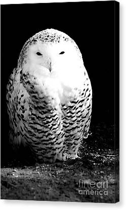 Resting Snowy Owl Canvas Print by Darcy Michaelchuk