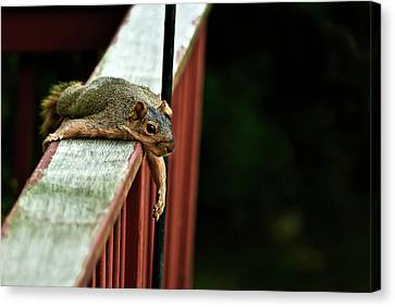 Fox Squirrel Canvas Print - Resting Squirrel by  Onyonet  Photo Studios