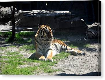 Canvas Print featuring the photograph Resting Tiger by John Black