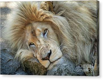 Resting White Lion Canvas Print
