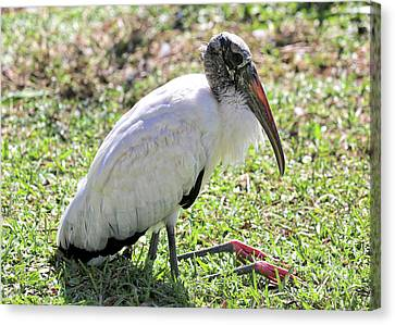 Resting Wood Stork Canvas Print by Carol Groenen