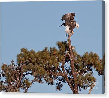 Canvas Print featuring the photograph Restless Eagle by David Bishop