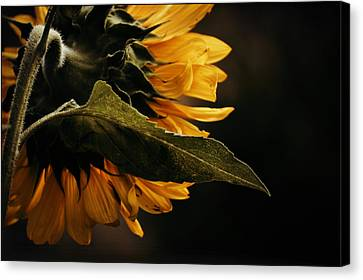 Canvas Print featuring the photograph Reticent Sunflower by Douglas MooreZart