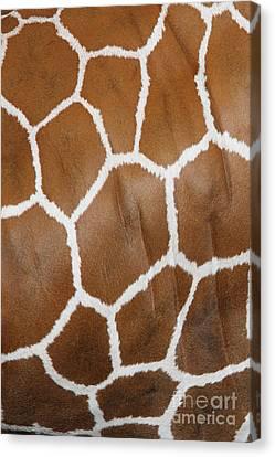 Reticulated Giraffe #2 Canvas Print