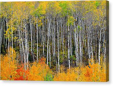 Return To The Aspen Forest Canvas Print by Tim Reaves