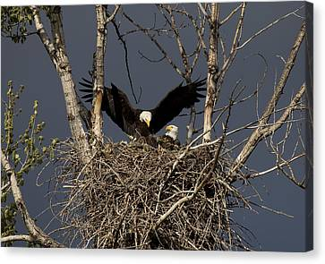 Returning Home To The Nest Canvas Print by Mike  Dawson
