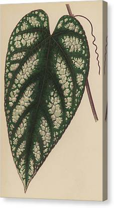 Rex Begonia Vine Cissus Discolor Canvas Print by English School