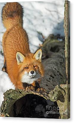 Canvas Print featuring the photograph Reynard The Fox by Nina Stavlund