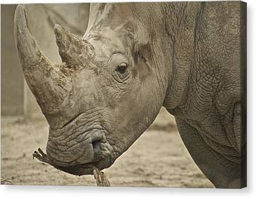 Rhino Canvas Print by Michael Peychich