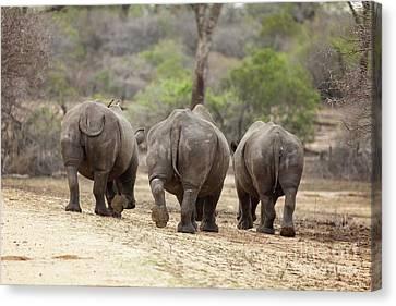 Rhino Trio Canvas Print by Jane Rix