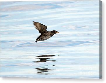 Rhinoceros Auklet Reflection Canvas Print by Mike Dawson