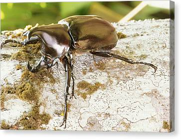 Rhinoceros Beetle Canvas Print by B. G. Thomson