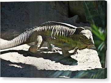 Canvas Print featuring the photograph Rhinoceros Iguana by Miroslava Jurcik