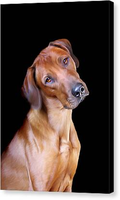 Ridgeback Canvas Print - Rhodesian Ridgeback by Julie L Hoddinott