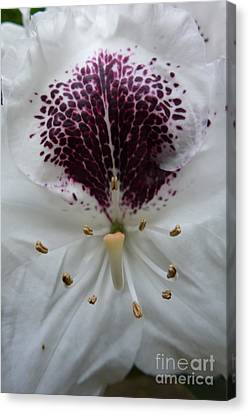 Rhododendron 2 Canvas Print by Jean Bernard Roussilhe