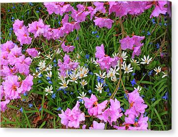 Rhododendron Bloodroot In Garden Canvas Print by John Burk