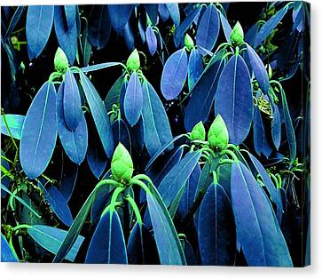 Rhododendron Buds In Spring Canvas Print
