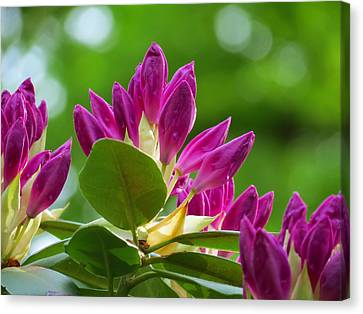 Rhododendron Buds Canvas Print