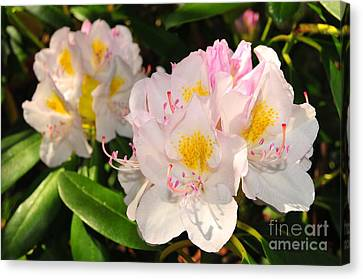 Rhododendron Canvas Print by Catherine Reusch Daley
