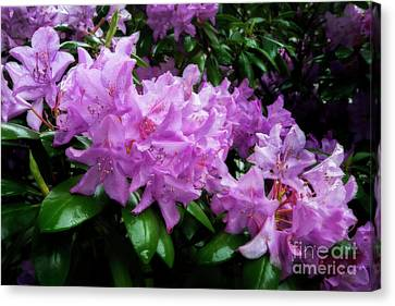 Rhododendron Flowers Bunched Up Canvas Print by Dan Friend