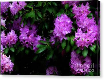 Rhododendron Flowers Canvas Print by Dan Friend