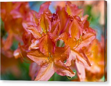 Rhododendron Flowers Canvas Print by Frank Tschakert
