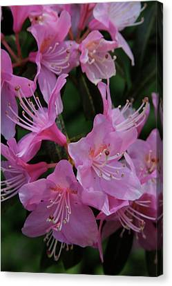 Rhododendron In The Pink Canvas Print by Laddie Halupa