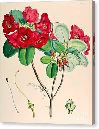 Red Leaf Canvas Print - Rhododendron by Joseph Dalton Hooker