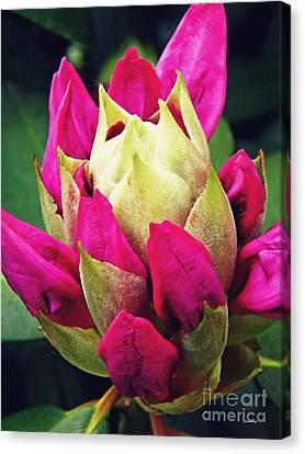 Rhododendron Velvet    Canvas Print by Sarah Loft