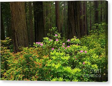 Rhodys And Redwood Canvas Print