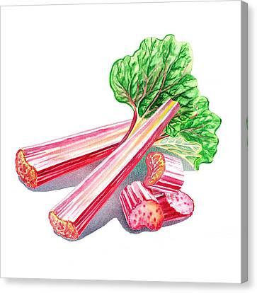 Rhubarb Stalks Canvas Print by Irina Sztukowski