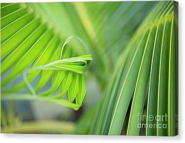 Rhythm Of A Palm Frond Canvas Print by Charmian Vistaunet