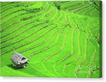 Rice Field Terraces Canvas Print by MotHaiBaPhoto Prints
