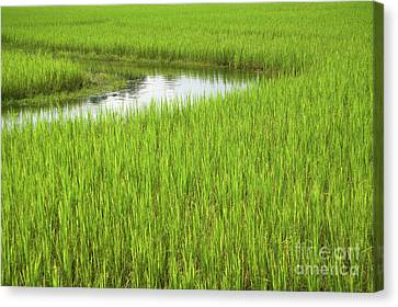 Canvas Print - Rice Paddy Field In Siem Reap Cambodia by Julia Hiebaum
